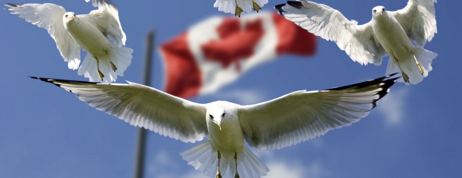 cropped-gulls-and-canada-flag-in-background-uhd6.jpg